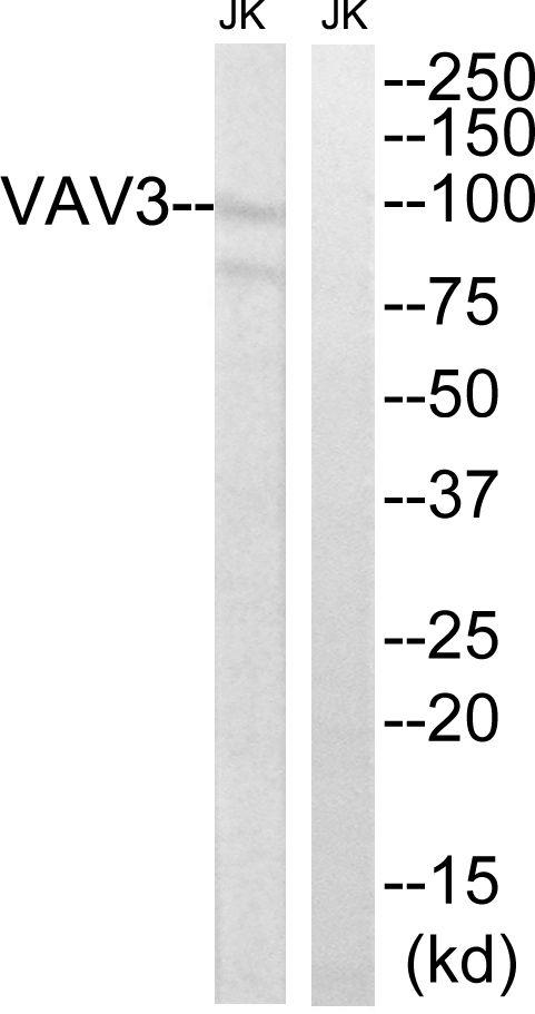 VAV3 Antibody (PA5-39838) in Western Blot