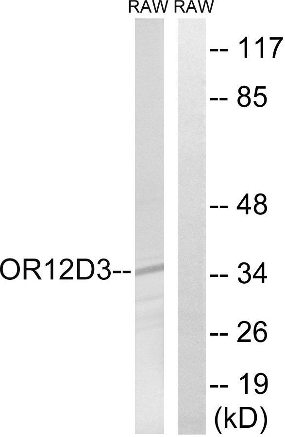 OR12D3 Antibody (PA5-39847)