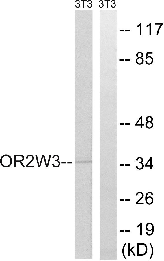 OR2W3 Antibody (PA5-39848)