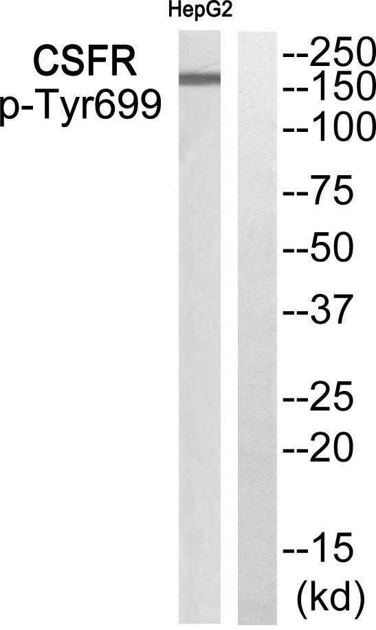 Phospho-CSF1R (Tyr699) Antibody (PA5-39849) in Western Blot
