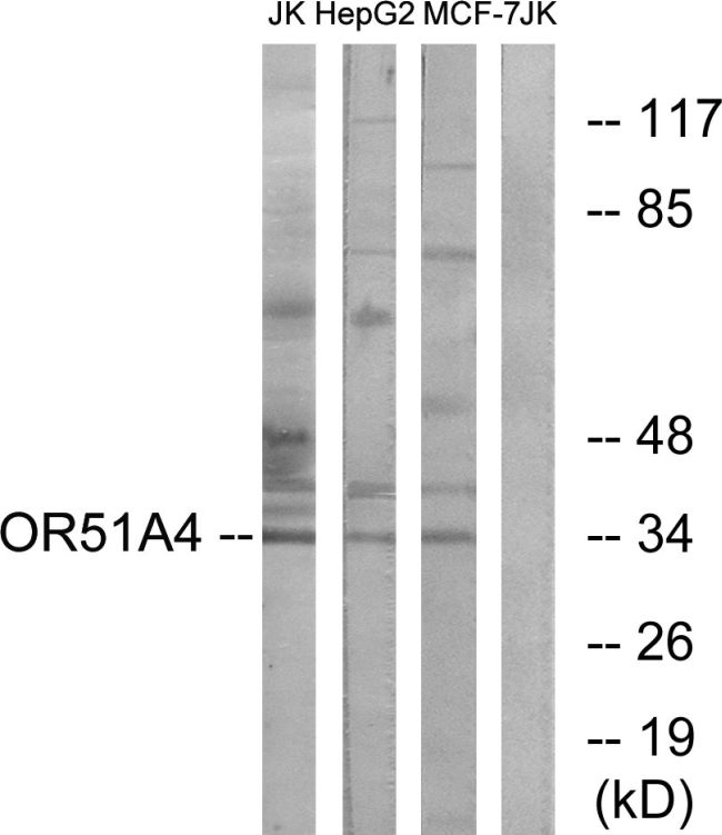 OR51A4 Antibody (PA5-39851) in Western Blot