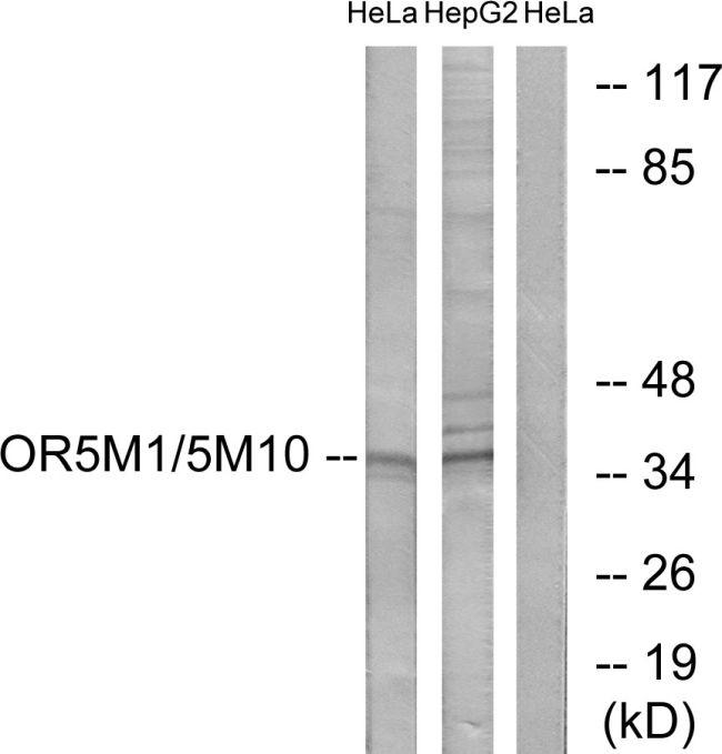 OR5M1/OR5M10 Antibody (PA5-39855) in Western Blot