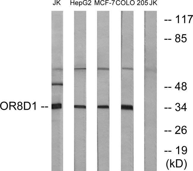 OR8D1 Antibody (PA5-39859) in Western Blot