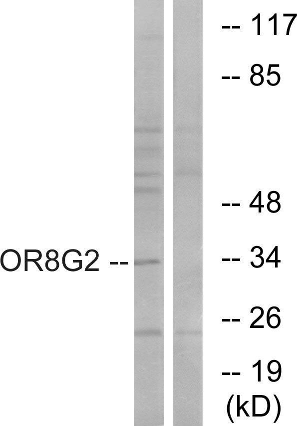 OR8G2 Antibody (PA5-39860) in Western Blot