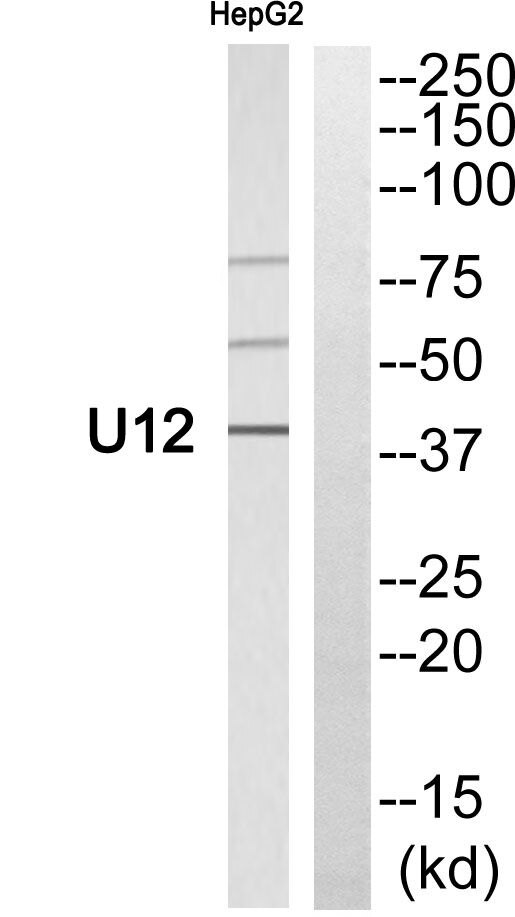 HSV Type 7 U12 Antibody (PA5-39863)