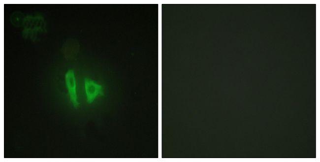 AKAP11 Antibody (PA5-39868)