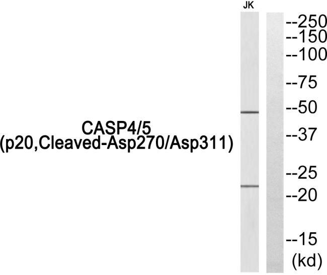 Caspase 4/5 p20 (Cleaved Asp270, Asp311) Antibody (PA5-39873)