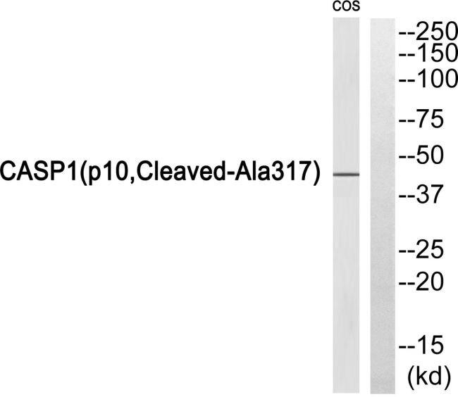 Caspase 1 p10 (Cleaved Ala317) Antibody (PA5-39882) in Western Blot
