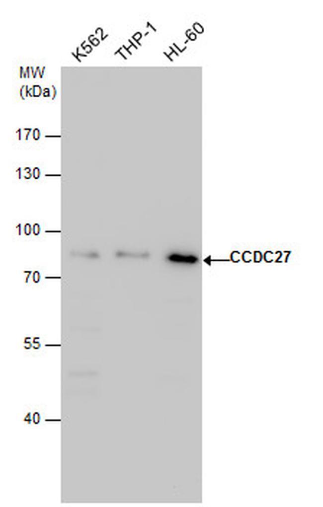 CCDC27 Antibody (PA5-40115)