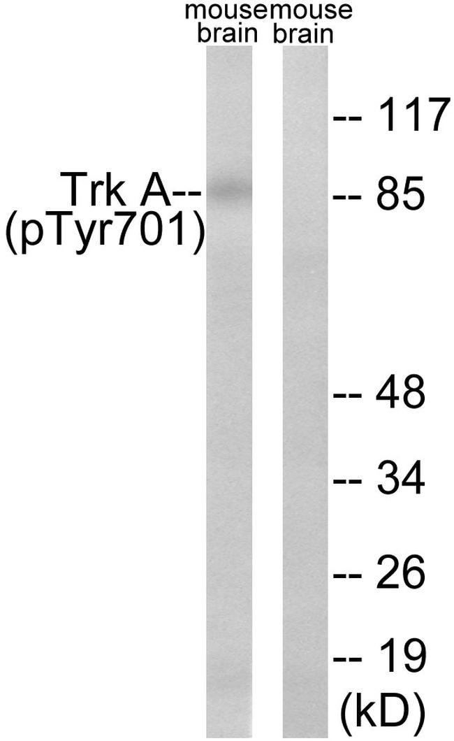 Phospho-TrkA (Tyr701) Antibody (PA5-40161) in Western Blot