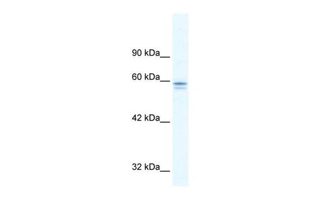 MTF-1 Antibody (PA5-40475)