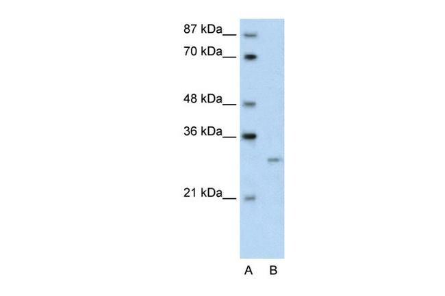 CREG1 Antibody (PA5-41468)