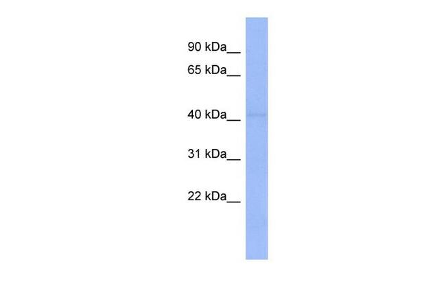 ZSCAN9 Antibody (PA5-41511)