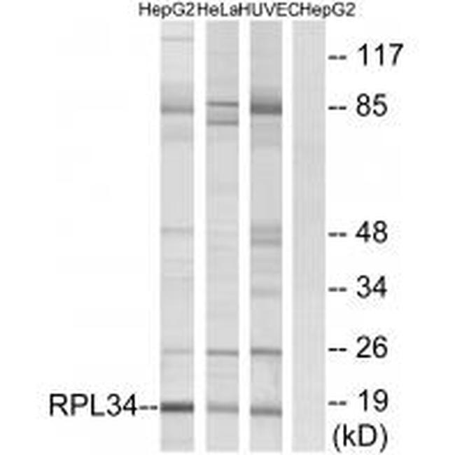 RPL34 Antibody (PA5-49958) in Western Blot