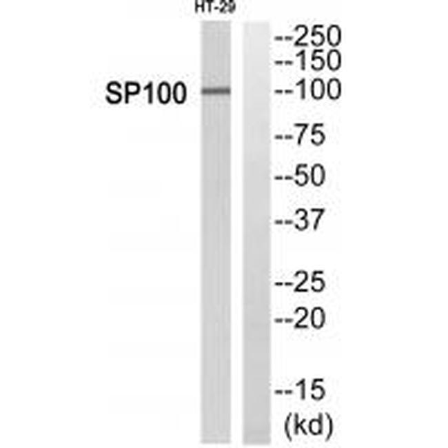 SP100 Antibody (PA5-50076) in Western Blot