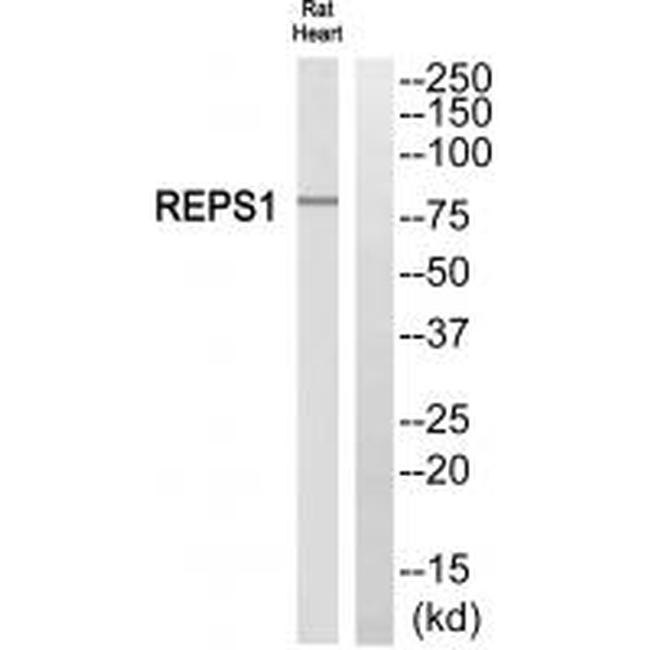 REPS1 Antibody (PA5-50105) in Western Blot