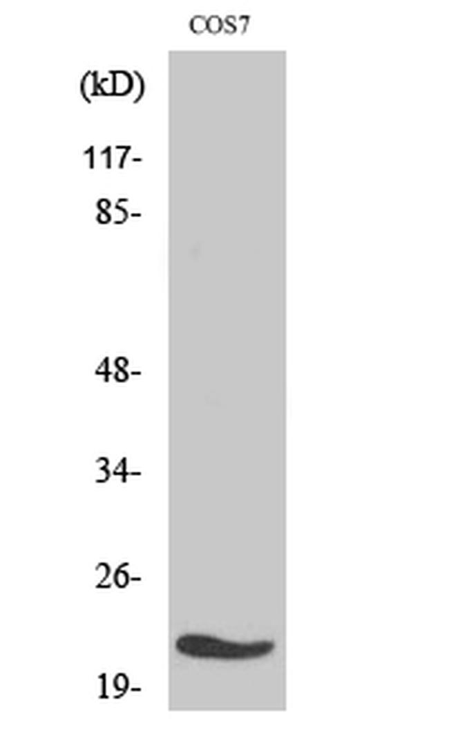 MRPL11 Antibody (PA5-51006) in Western Blot