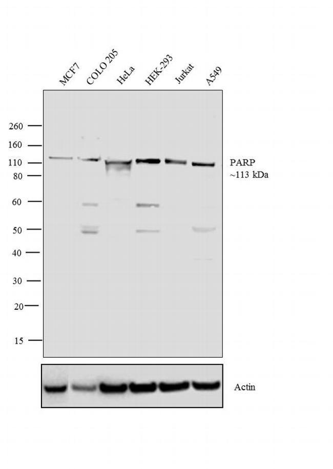 PARP Antibody (PA5-16452) in Western Blot