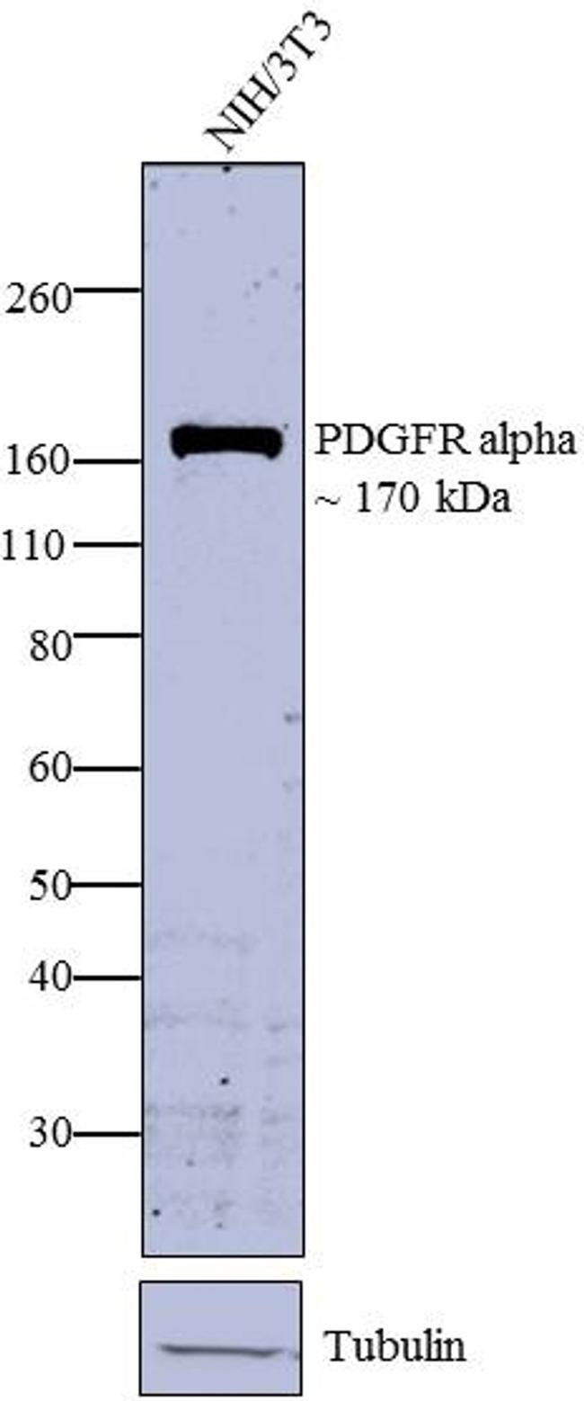 PDGFRA Antibody (PA5-16571) in Western Blot