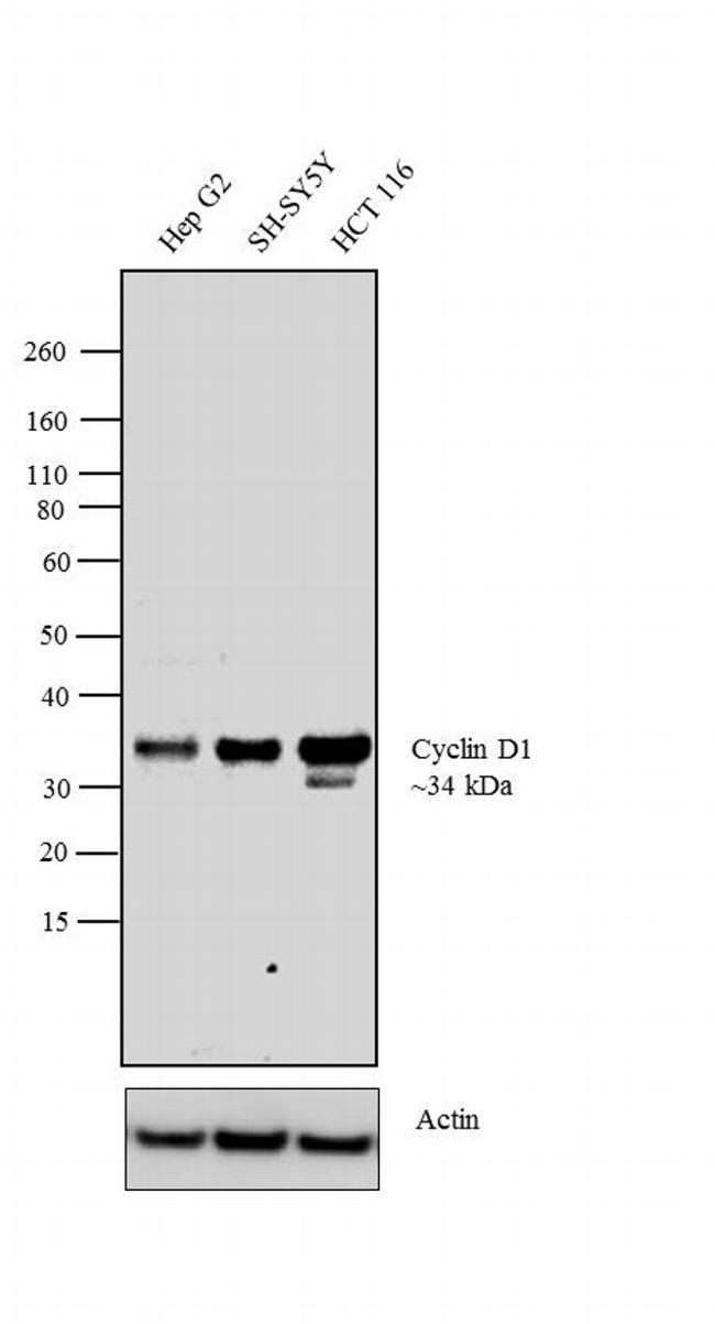 Cyclin D1 Antibody (PA5-16607) in Western Blot