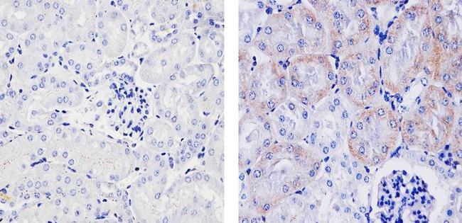 VEGF Antibody (PA5-16754) in Immunohistochemistry (Paraffin)