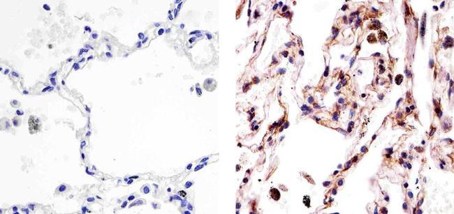 Tubulin alpha Antibody (PA5-16891)