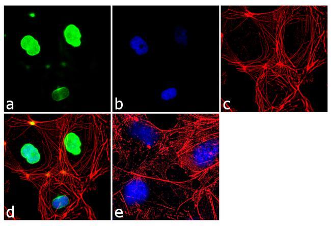 Oct-2 Antibody (PA5-16902) in Immunofluorescence