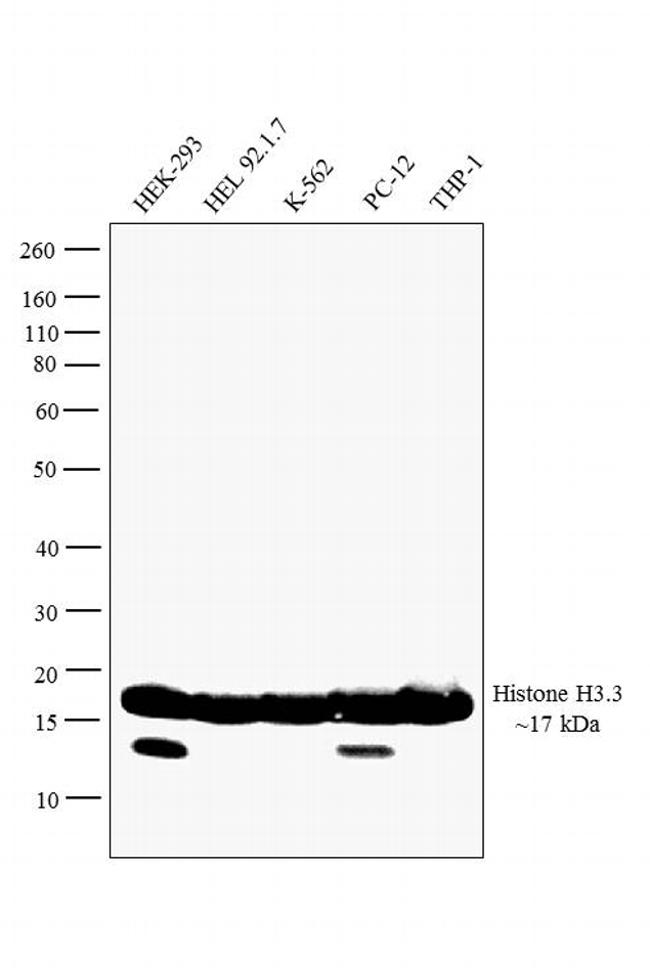 Histone H3.3 Antibody (PA5-17697) in Western Blot