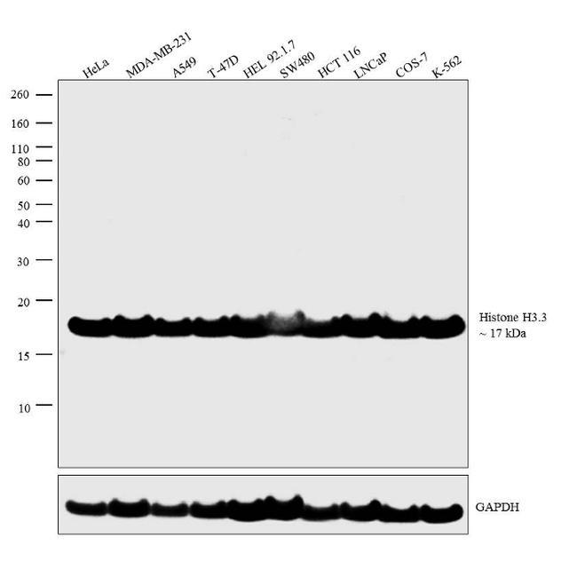 Histone H3.3 Antibody (PA5-23288) in Western Blot