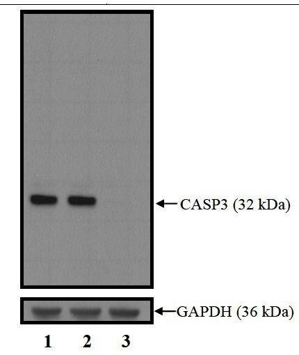 Caspase 3 Antibody (PA5-16335) in Western Blot