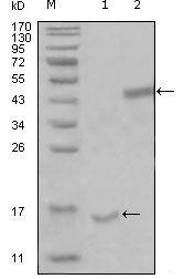 PARL Antibody (MA5-15428)