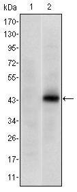 PAX4 Antibody (MA5-15798)