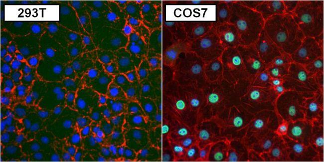PAX8 Antibody (MA1-117) in Immunofluorescence