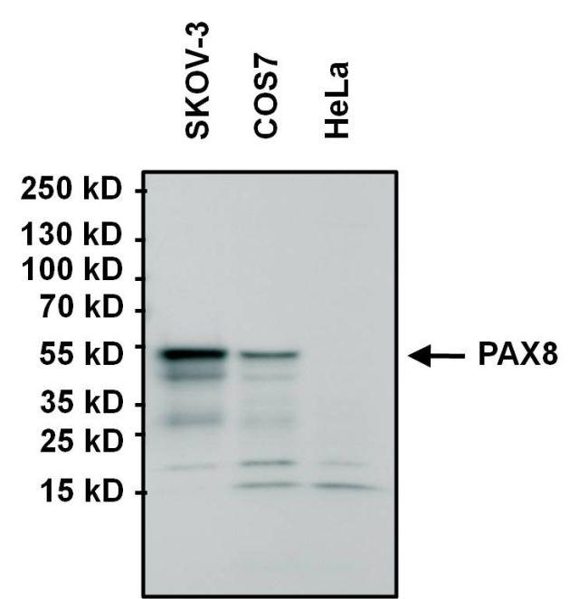 PAX8 Antibody (MA1-117) in Western Blot