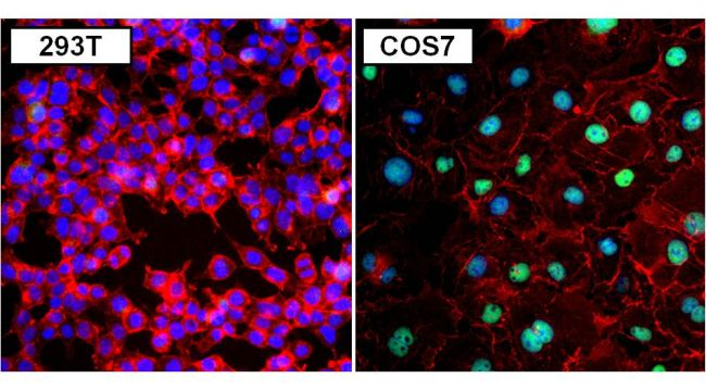 PAX8 Antibody (PA1-112)