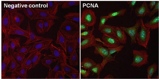 PCNA Antibody (PA5-16797) in Immunofluorescence