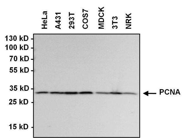 PCNA Antibody (PA5-16797) in Western Blot