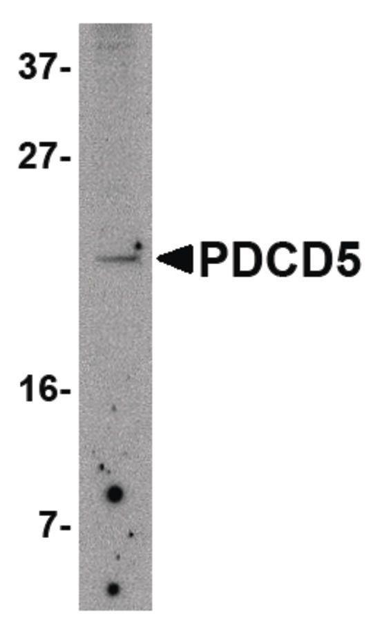 PDCD5 Antibody (PA5-20684) in Western Blot