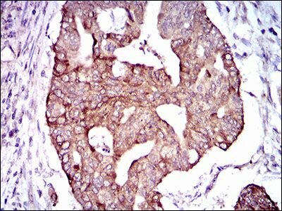 PDE1B Antibody (MA5-17147) in Immunohistochemistry