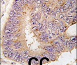 PDE8A Antibody (PA5-11533) in Immunohistochemistry