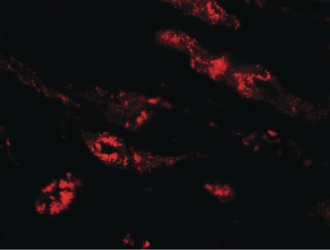 PEAR1 Antibody (PA5-21057) in Immunofluorescence
