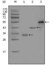 PEG10 Antibody (MA5-15475) in Western Blot