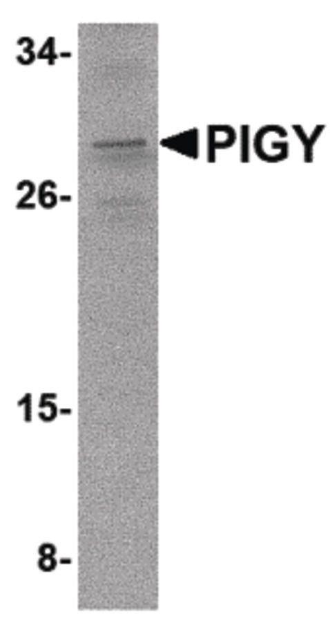 PIGY Antibody (PA5-20651) in Western Blot