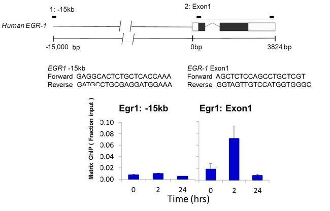 PIM1 Antibody (39-4600) in ChIP assay