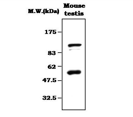 PIWIL2 Antibody (MA5-17208)