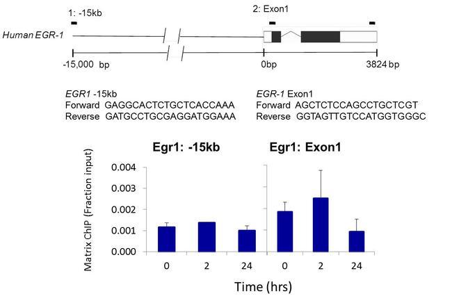 Phospho-PKA beta (Ser338) Antibody (44-992G) in ChIP assay