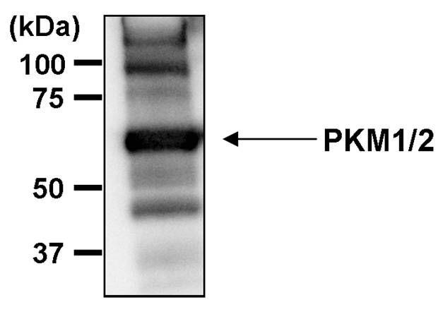 PKM2 Antibody (MA5-14815) in Immunoprecipitation