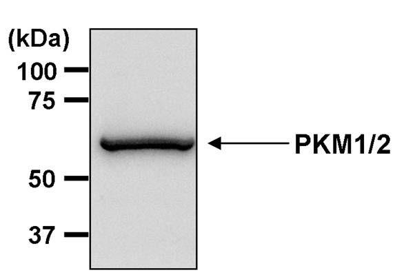 PKM2 Antibody (MA5-14815) in Western Blot
