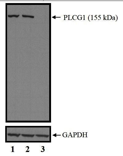 PLCG1 Antibody (PA5-17810) in Western Blot