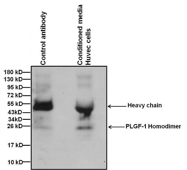 PGF Antibody (MA1-188) in Immunoprecipitation